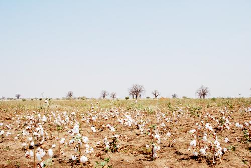 tanzania cotton farm image